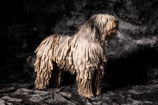 Bergamaster Hund