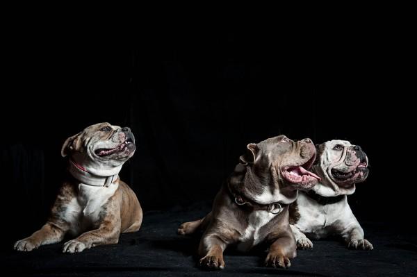 Französische Dogge Hundefotos Hundeshooting