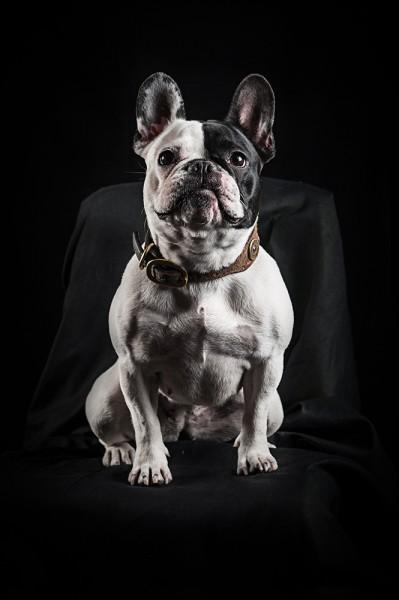 Französische Dogge Hundefotografie Tierfotografie