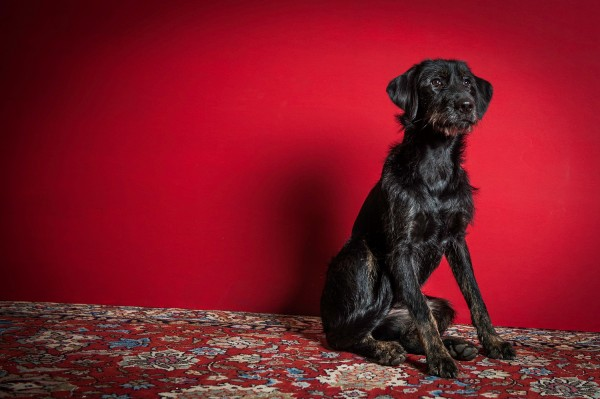 Labradoodle Hundefotografie Tierfotografie