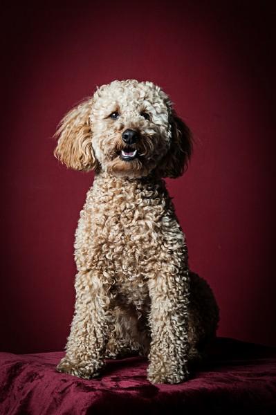 Pudel Hundefotografie Tierfotografie