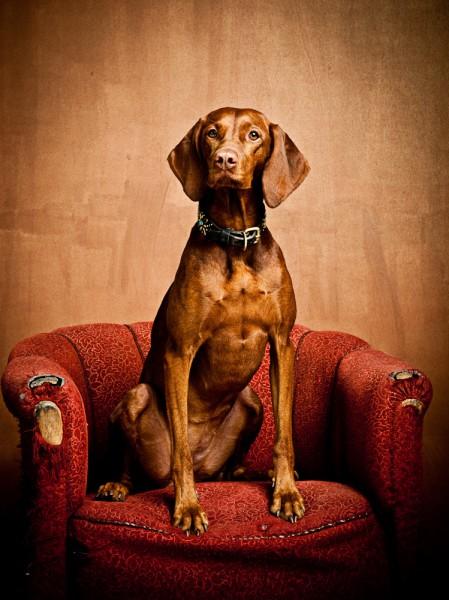 Vizla Jagdhund Hundefoto Hundeshooting